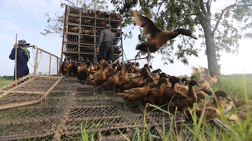 Duck unloading from the truck ready to clean rice plant from parasites